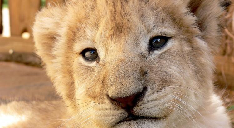 Lion Cub (PD)