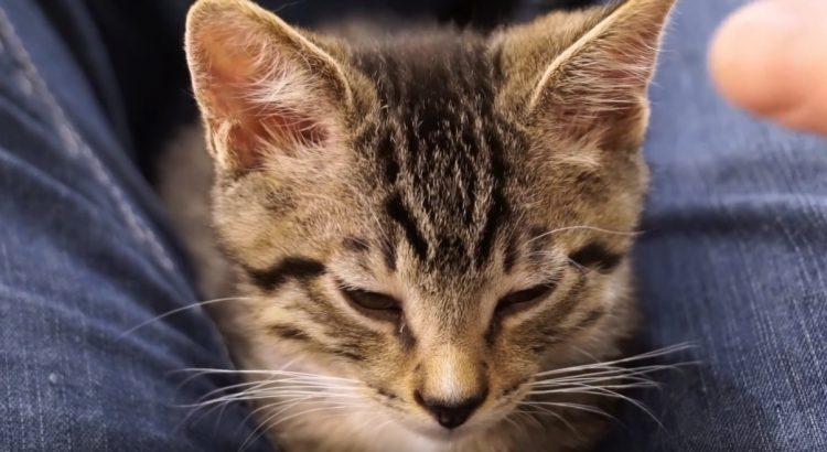 sleepy-kitten