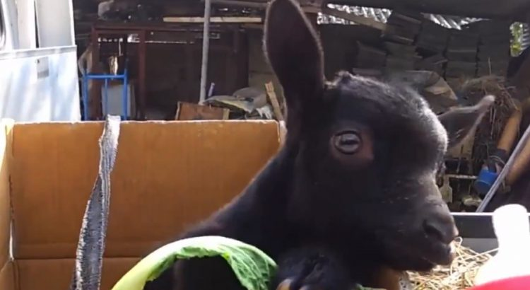 Baby Goats Want to Have Fun Too