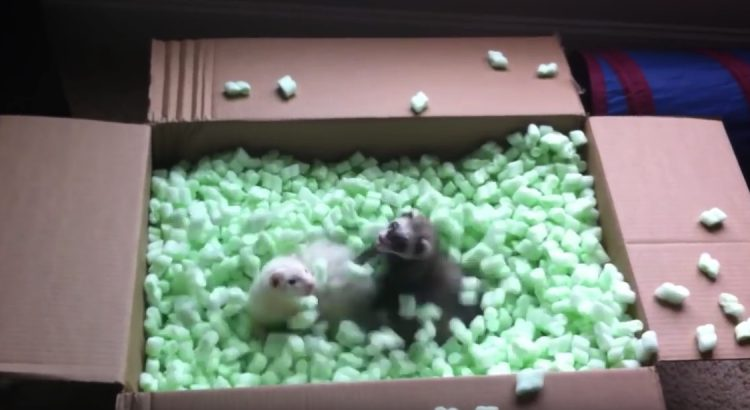 Ferrets in packing