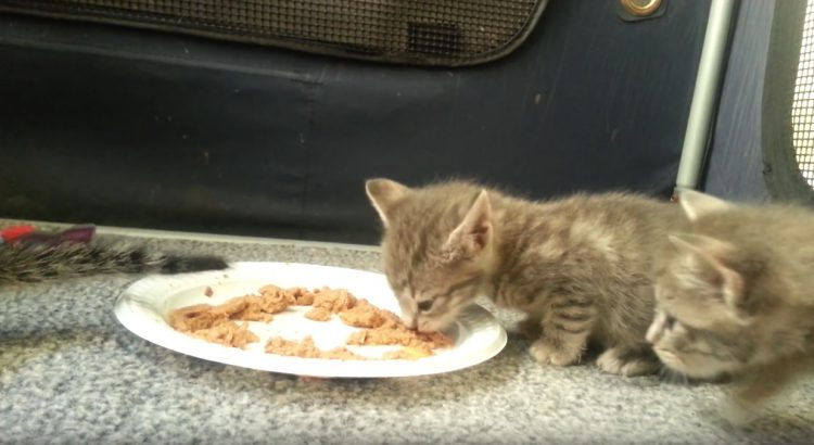 Kittens eating for first time