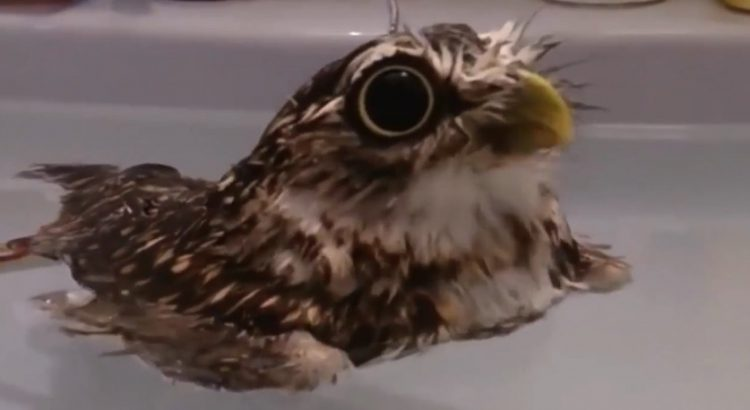 Owl-Right